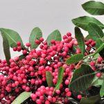 Você conhece os benefícios da Pimenta Rosa?