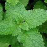 Erva cidreira: conheça os principais benefícios dessa planta